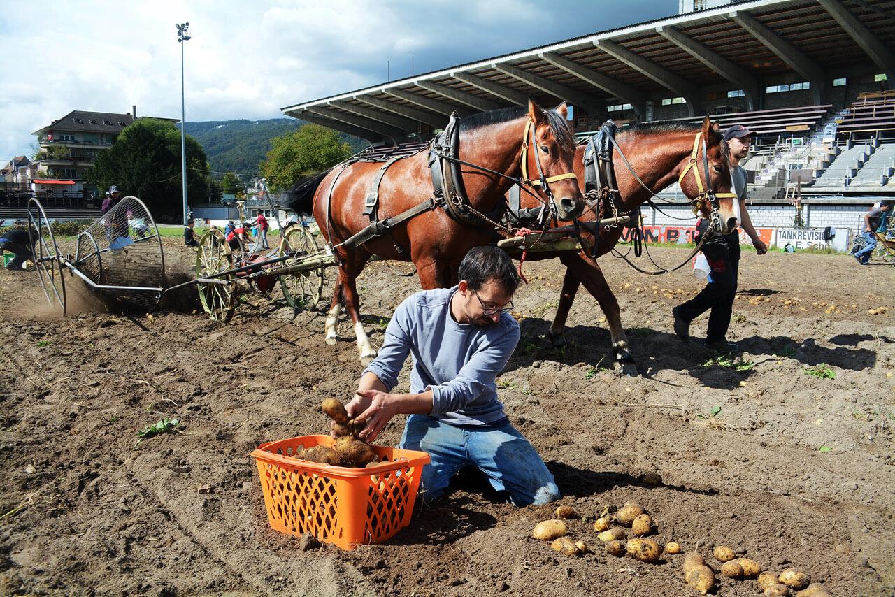 gurzelen-kartoffelernte-02-bild-im-bild